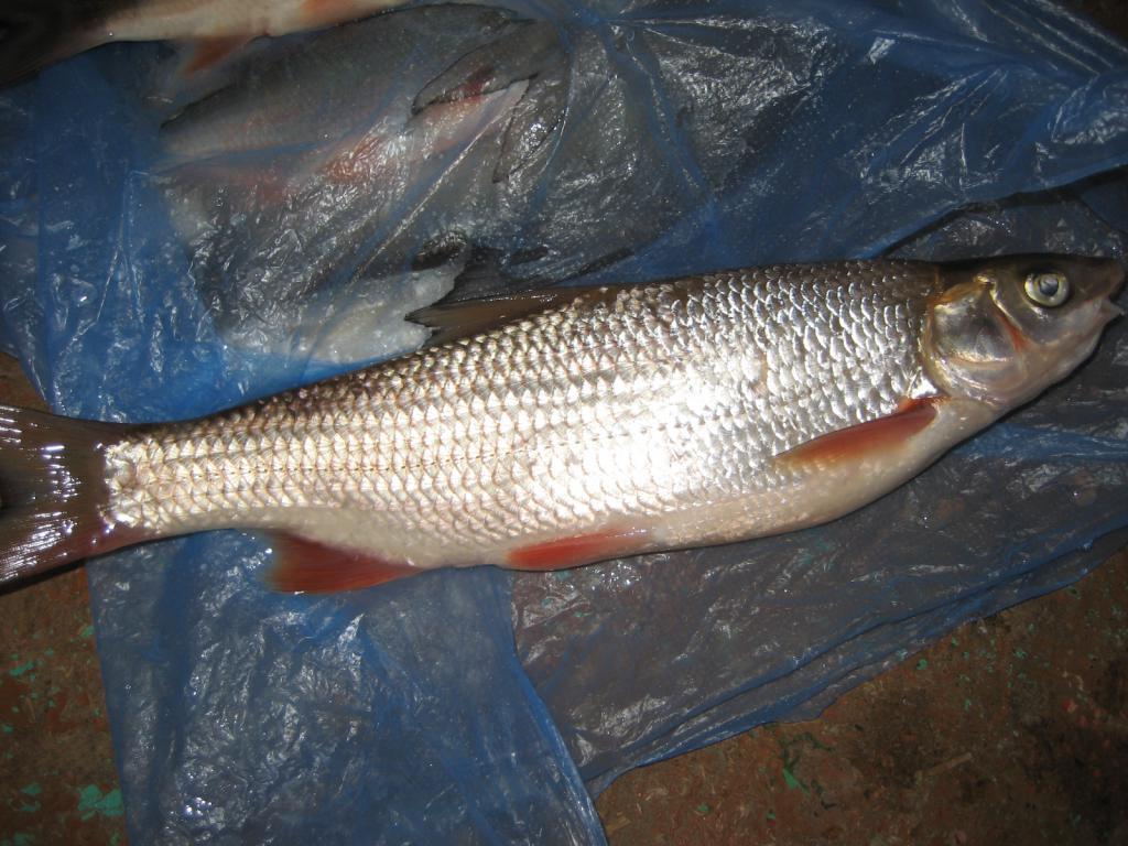 фото вырезуб рыба